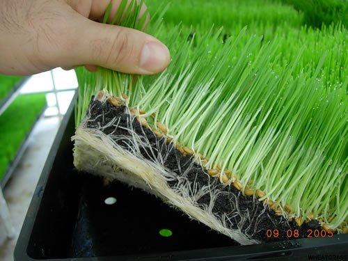 Fresh Wheatgrass Sprouts Seeds Micro Greens