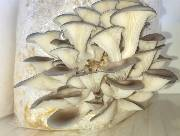 Organic Blue Oyster Mushroom Grow Kit  100% USDA Organic