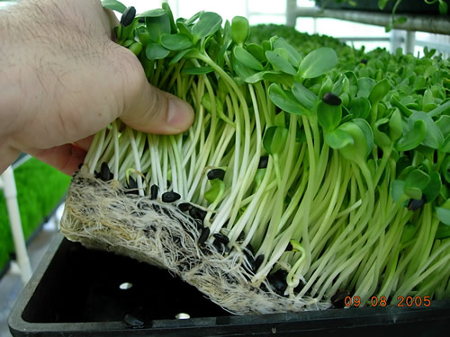 Fresh Grown Sun Flower Sprouts Micro Greens