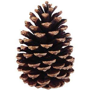 Slash Pinecones