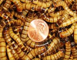 "Mealworms Super size 2"" - 2.2"""