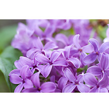 Greeting Card - Lilacs