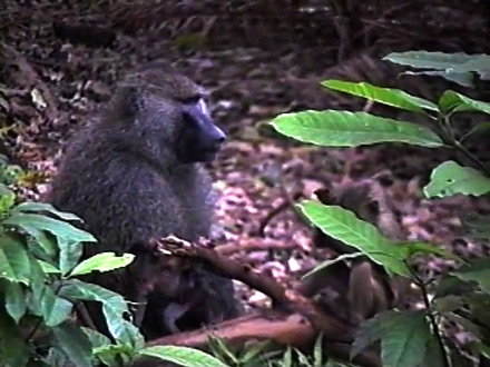 Images from the Field: Baboons THUMBNAIL