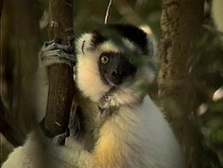 Sifakas of Madagascar