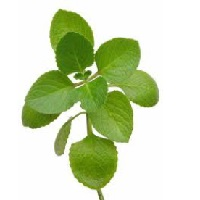 Organic Oregano Bunch, ea. THUMBNAIL