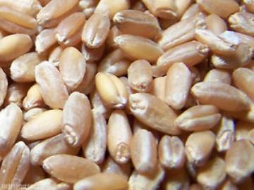 Seed - Bulk Organic Hard Winter Wheat