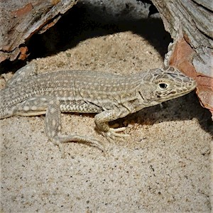 Lizard - Egyptian Fringe Finger (Acanthodactylus sp.) LARGE