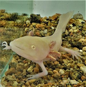 Axolotl - Golden/Albino (Ambystoma mexicanum) LARGE