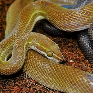 Snake - African House (Juvenile - Unsexed 0.0.1)(Lamprophis Fuliginosos) LARGE