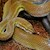 Snake - African House (Juvenile - Unsexed 0.0.1)(Lamprophis Fuliginosos) SWATCH