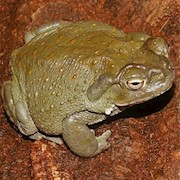 Toad - Colorado River (Bufo alvarius) THUMBNAIL