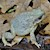 Toad - Red Spotted (Bufo Punctatus) SWATCH