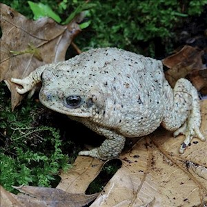 Toad - Red Spotted (Bufo Punctatus) LARGE