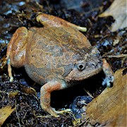 Frog - Orange Burrowing (Calluella guttulata) THUMBNAIL