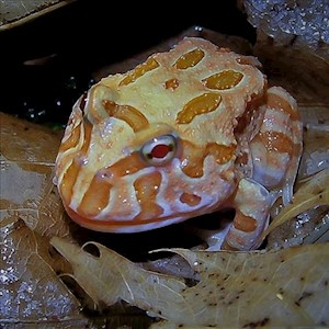 Frog - Pacman/Apricot (Ceratophrys cranwelli) LARGE