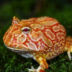Frog - Pacman/Strawberry (Ceratophrys cranwelli) LARGE