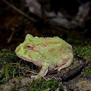 Frog - Pacman/Albino/Mint (Ceratophrys cranwelli) LARGE