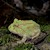 Frog - Pacman/Albino/Mint (Ceratophrys cranwelli) SWATCH