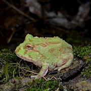 Frog - Pacman/Albino/Mint (Ceratophrys cranwelli) THUMBNAIL