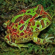 Frog - Pacman/Ornate/High Red  (Ceratophrys ornata) THUMBNAIL
