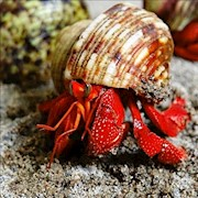 Crab - Hermit/Strawberry/Medium (Coenobita perlatus) THUMBNAIL