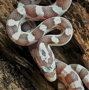 Corn Snake - Ghost (Juvenile - Unsexed 0.0.1)(Elaphe guttata) LARGE