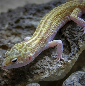 Leopard Gecko - Albino/Super Snow  (Adult-Unsexed 0.0.1) (Eublepharus macularis).. LARGE
