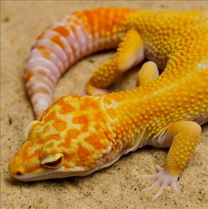 Leopard Gecko - Clown  (Adult-Unsexed 0.0.1) (Eublepharus macularis).. LARGE