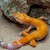 Leopard Gecko - Sunglow  (Juvenile-Unsexed 0.0.1) (Eublepharus macularis).. SWATCH