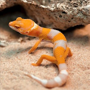 Leopard Gecko - Sunglow  (Juvenile-Unsexed 0.0.1) (Eublepharus macularis).. LARGE