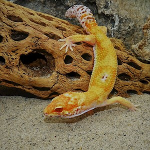 Leopard Gecko - Albino/Clown  (Juvenile-Unsexed 0.0.1) (Eublepharus macularis) LARGE