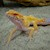 Leopard Gecko - Albino/Clown  (Juvenile-Unsexed 0.0.1) (Eublepharus macularis) SWATCH
