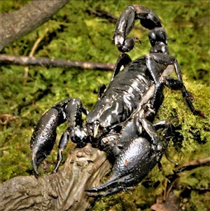Scorpion - Black Asian (Heterometrus SP.) LARGE