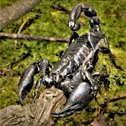 Scorpion - Black Asian (Heterometrus SP.) THUMBNAIL