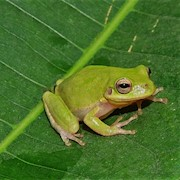Frog - Tree/Squirrel (Hyla squirella) THUMBNAIL