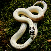 King Snake - California/Ivory (SubAdult - Unsexed 0.0.1)(Lampropeltis getulus californiae) THUMBNAIL