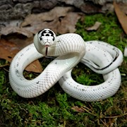 King Snake - California/Ivory  (Juvenile - Unsexed 0.0.1)(Lampropeltis getulus californiae) THUMBNAIL
