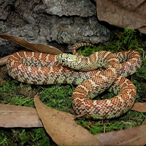 King Snake - Brook/Hypo (Juvenile - Unsexed 0.0.1)(Lampropeltis getulus floridiana) LARGE