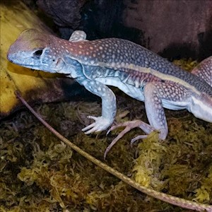 Agama - Giant Purple Butterfly Agama (XL) (Leiolepis guttata) LARGE