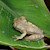 Frog - Tree/Short Snout Big Eye (Leptopelis brevirostris) SWATCH