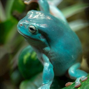 Frog - Tree/White/Emerald Blue (Litoria caerulea) LARGE
