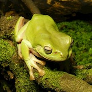 Frog - Tree/White (Litoria caerulea) THUMBNAIL