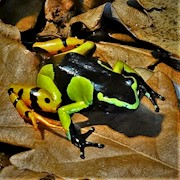 Frog - Mantella/Painted (Mantella baronii) THUMBNAIL