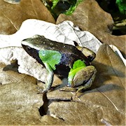 Frog - Mantella/Beautiful (Mantella pulchra) THUMBNAIL