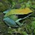 Frog - Mantella/Green (Mantella viridis) SWATCH