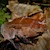 Frog - Leaf/Mountain (Megophrys montana) SWATCH