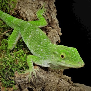 Anole - Giant/Neotropical/Green (Anolis biporcatus) LARGE