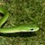 Snake - Rough Green (Juvenile - Unsexed 0.0.1)(Opheodrys aestivus) SWATCH