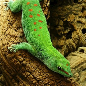 Gecko - Day/Giant (Phelsuma grandis) LARGE