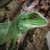 Lizard - Water Dragon/Chinese (Physignathus cocincinus) SWATCH